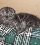 Дымчатый вислоухий котёнок лежит на зелёном клетчатом пледе