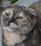 Морда вислоухой кошки черепаховой расцветки