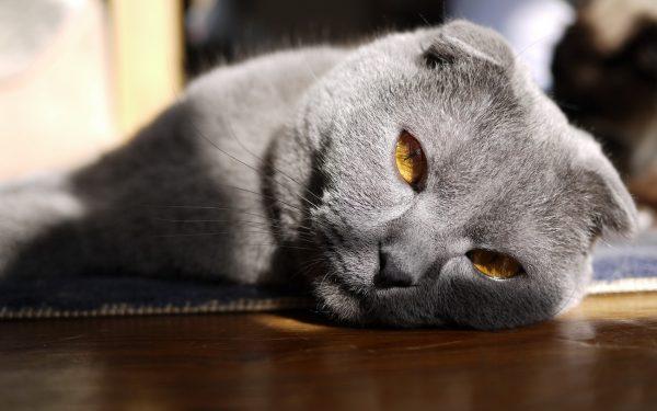 Британский вислоухий кот лежит боком на полу, греясь в лучах солнца