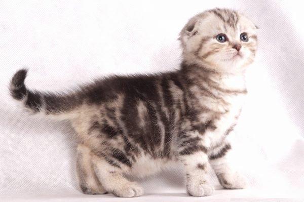 шотланская вислоухая девочка котенок