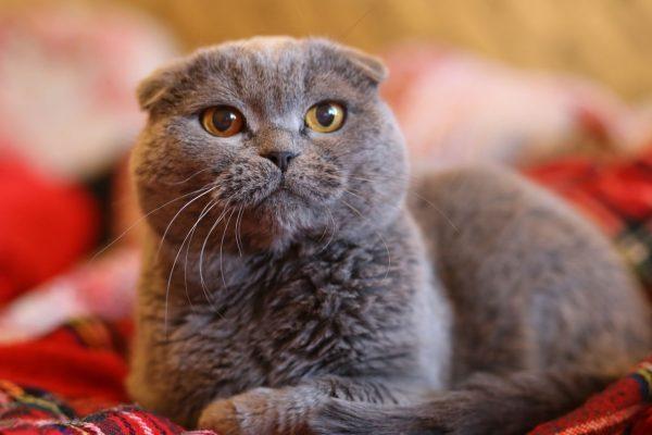 Британский вислоухий кот лежит на красном пледе, глядя вверх