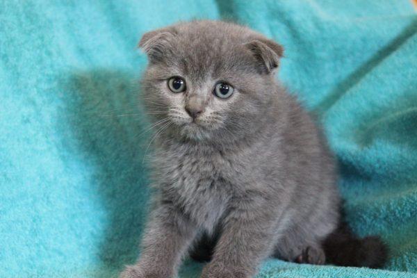 Британский вислоухий котёнок сидит на бирюзовом полотенце
