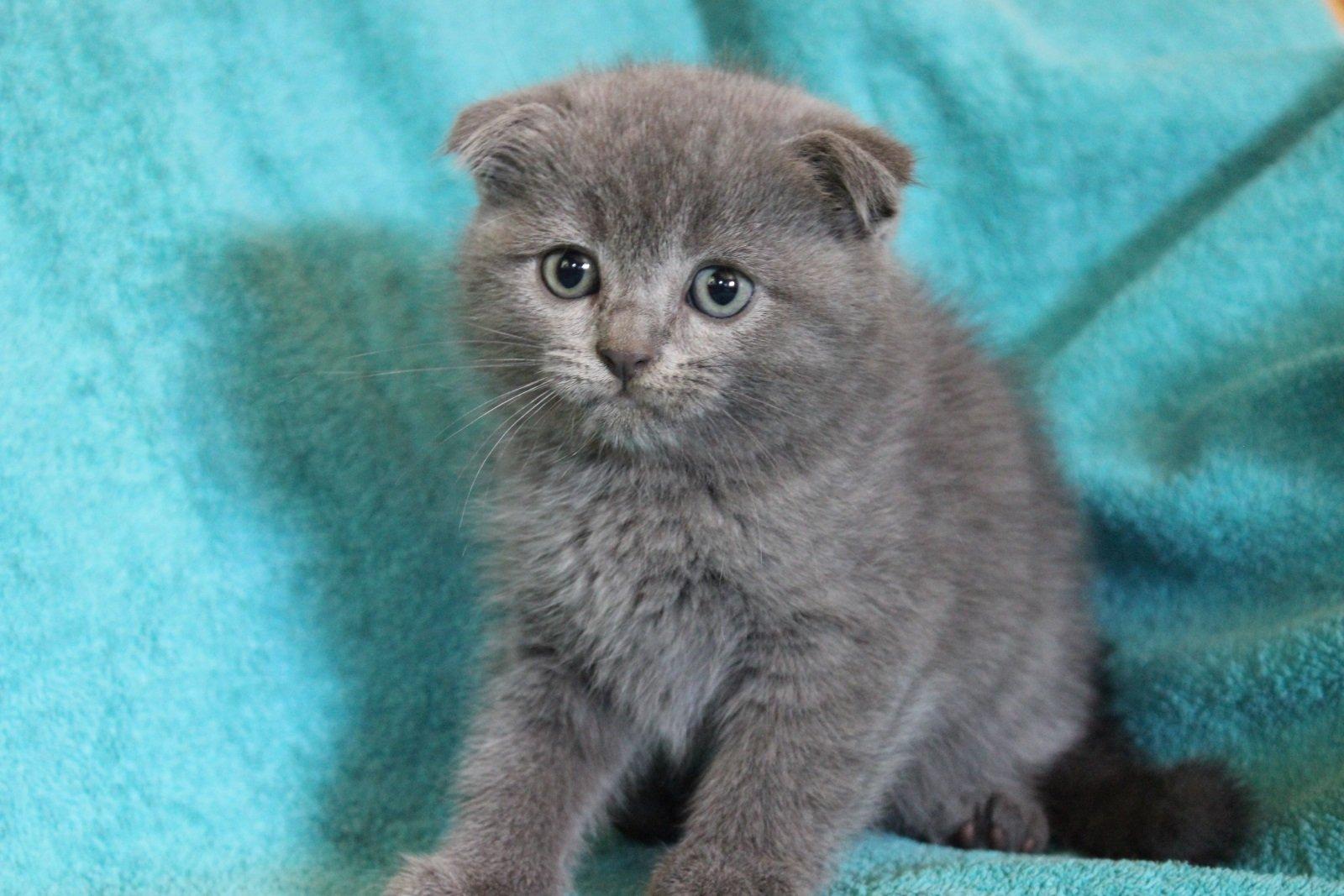 Картинки британских вислоухих котят