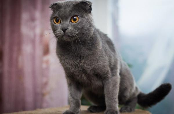 Британский вислоухий кот сидит на тумбе, подавшись вперёд