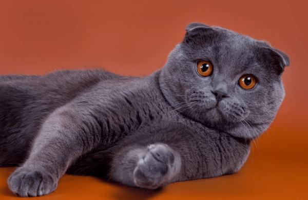 Британская вислоухая кошка лежит, вытянув передние лапы