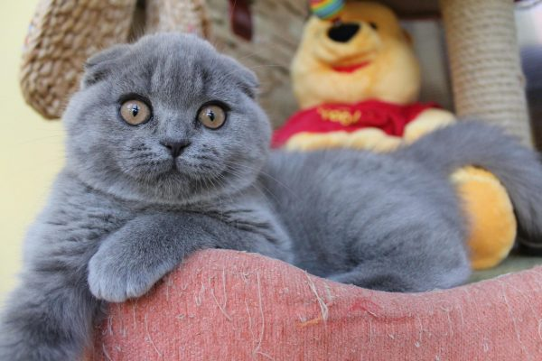 Британский вислоухий котёнок сидит в розовой корзинке