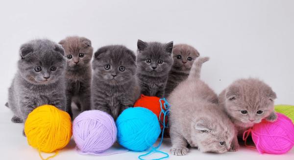 Британские вислоухие котята играют с клубками цветной шерсти