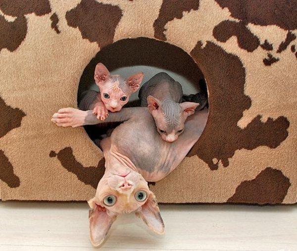 Донской сфинкс с котятами выглядывают из кошачьего домика