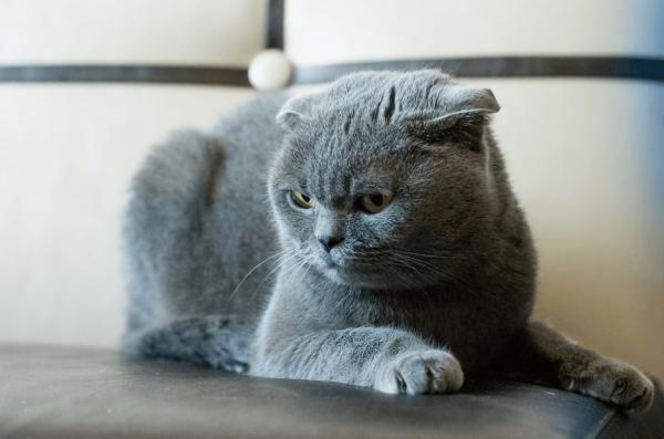 Британский вислоухий кот лежит на белом кожаном диване и смотрит вниз