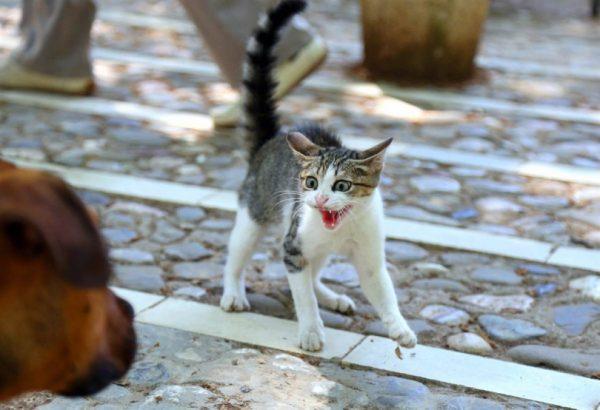Котёнок шипит