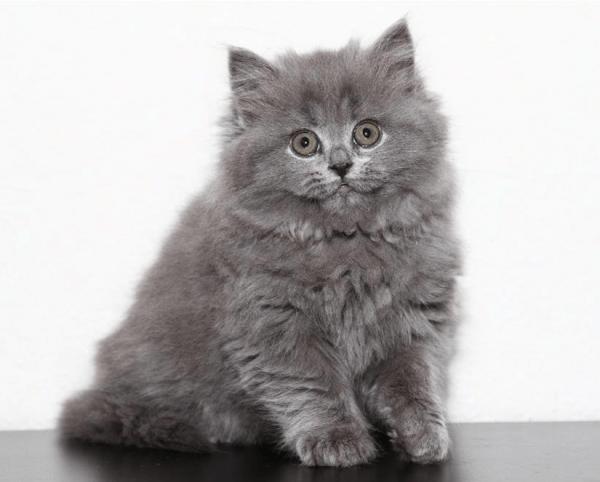 Длинношёрстный котёнок