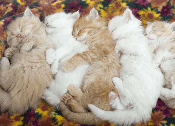 Много спящих котят
