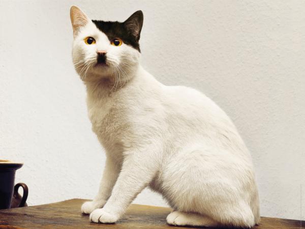 Кот, похожий на Гитлера