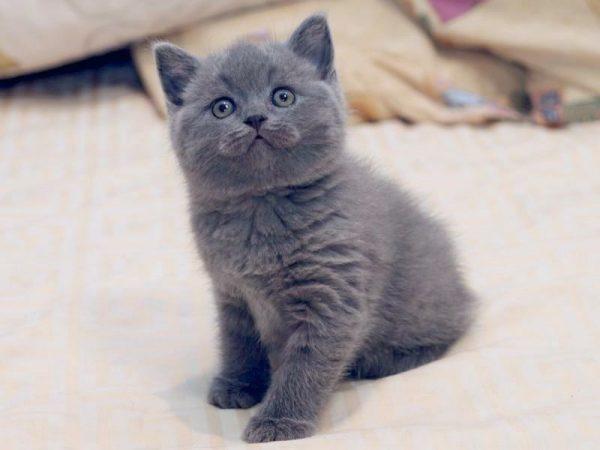 Котёнок серого окраса