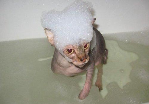Донской сфинкс в ванной