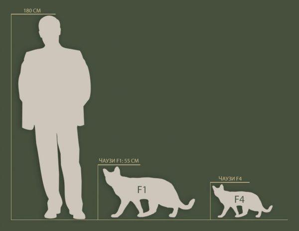 Соотношение размера чаузи и человека