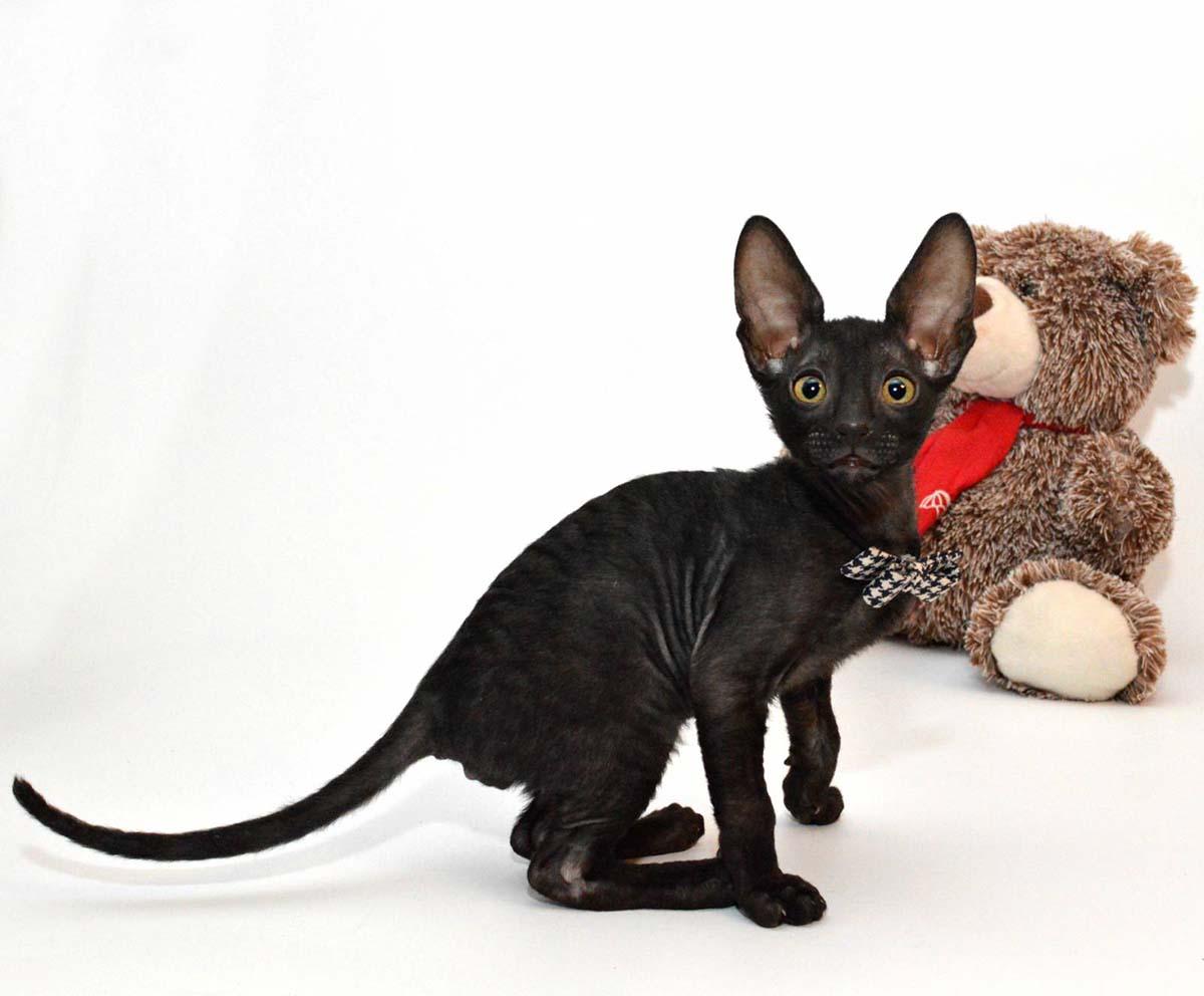 Девон Рекс коты и кошки