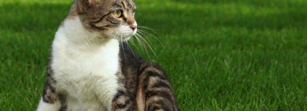 Полосатая кошка с белой грудкой сидит на газоне