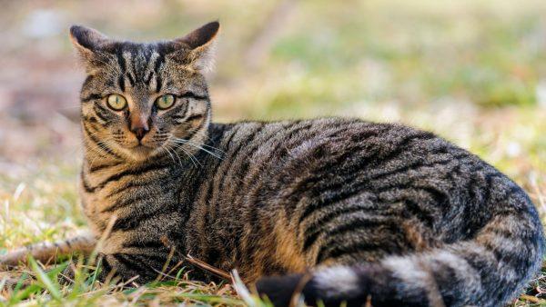 Беспородная кошка в полоску лежит на траве