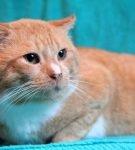 Рыжий кот сидит, прижав уши к голове и сощурившись