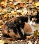 Трёхцветная кошка сидит в осенней листве