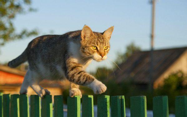 Полосатый кот идёт по дощатому зелёному забору