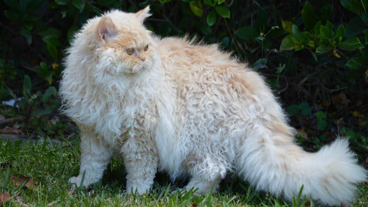 Кудрявый кот фотографии качество жизни