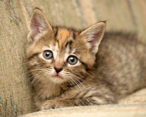 Коричневый котёнок в полоску лежит на диване и смотрит вверх
