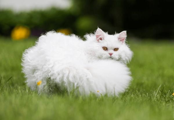 Белый селкирк