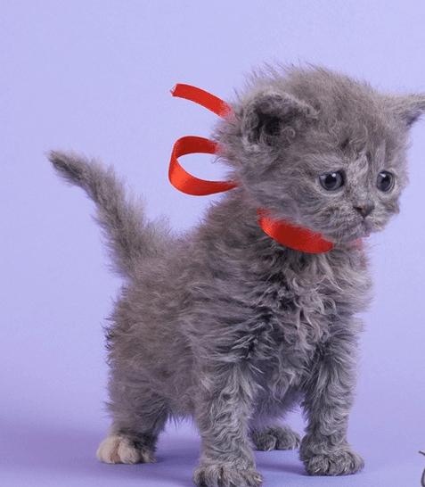 Котёнок селкирка