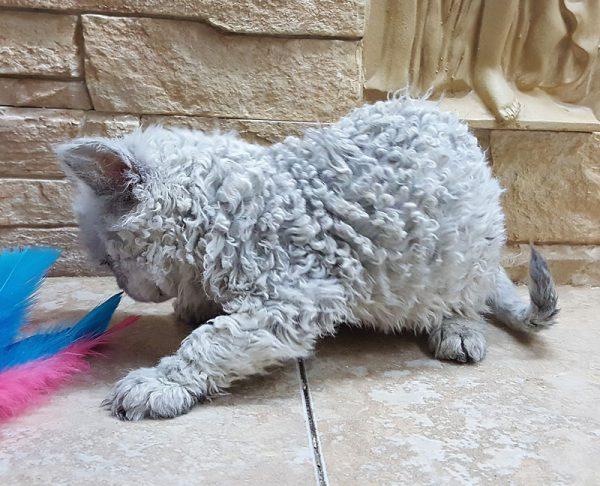 Котёнок селкирка играет