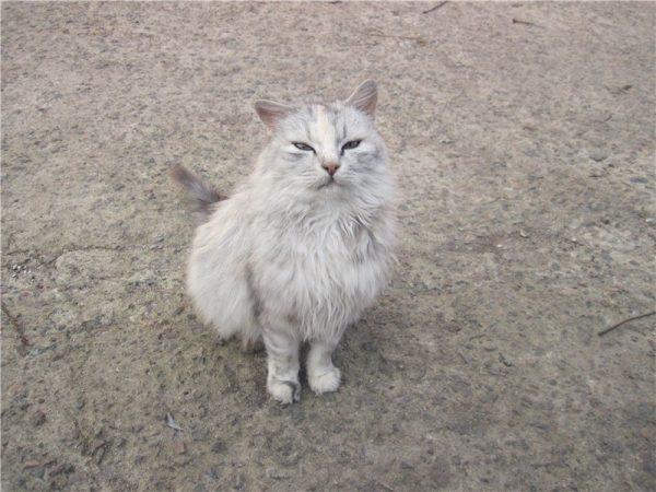 Беспородный пушистый кот