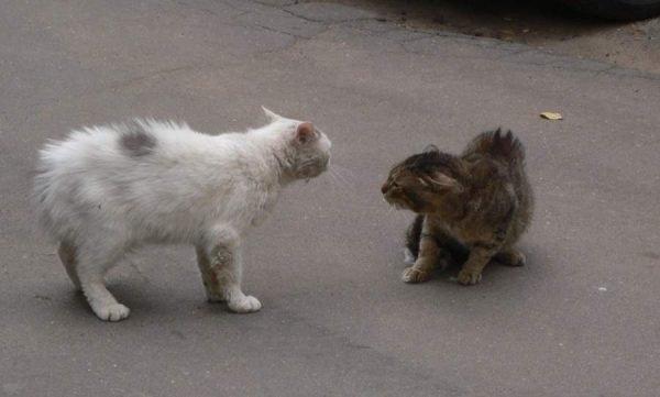Драка между котами