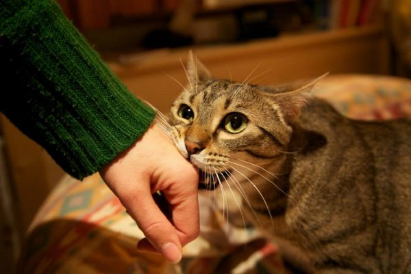 Кот кусает человека за руку