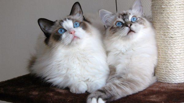 Кот и кошка рэгдолл