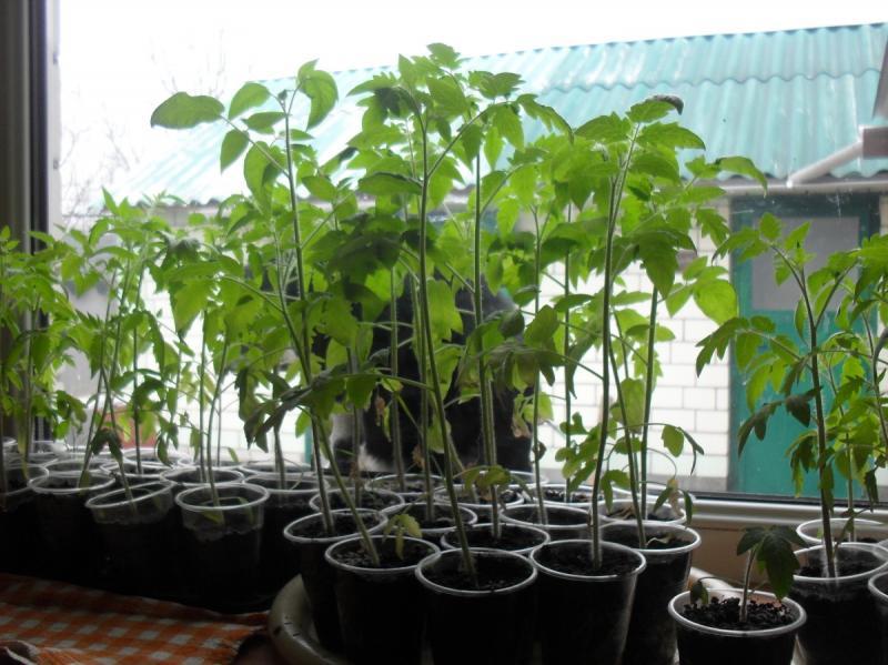 Почему вытягивается рассада помидор томатов