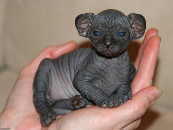 Котёнок канадского сфинкса