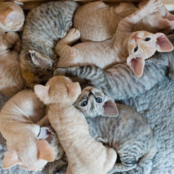 Котята корниш рекса лежат