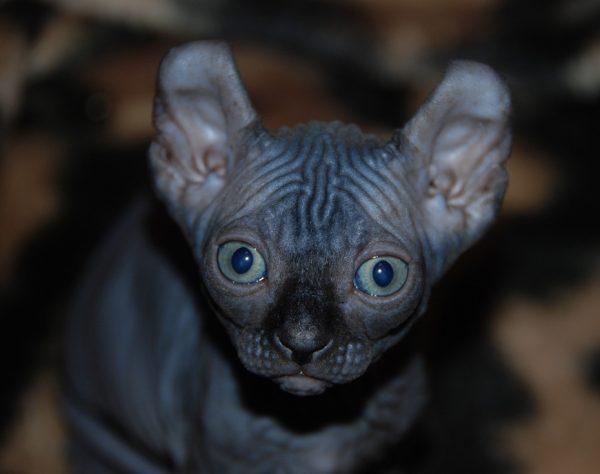 Канадский сфинкс котёнок