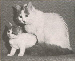 Первая ванская кошка с котёнком