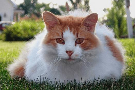 Турецкий ван на траве