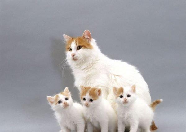 Кошка ван с котятами