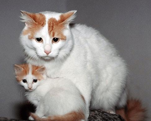 Ванская кошка и котёнок