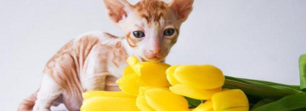 Котёнок корниш рекса