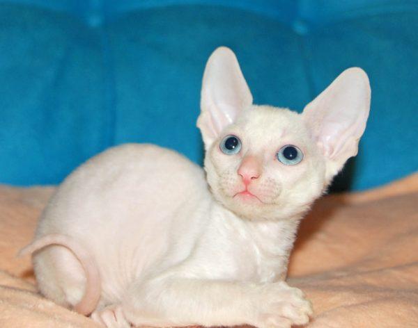 Белый котёнок корниш рекса