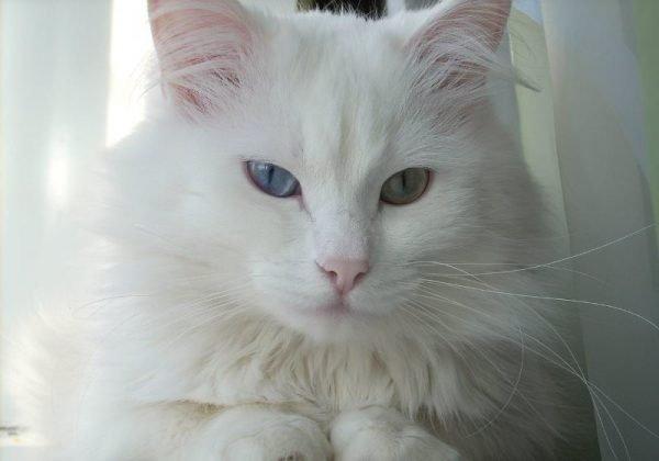 Белая ангорская кошка