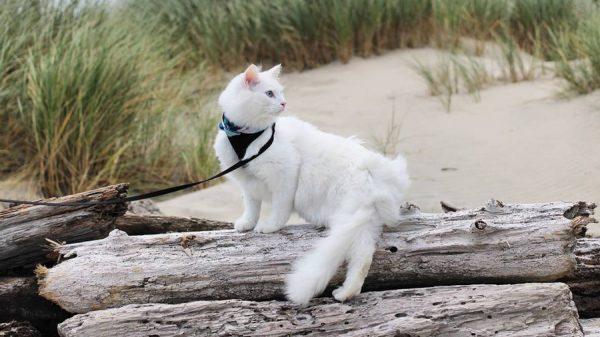Ангора на прогулке
