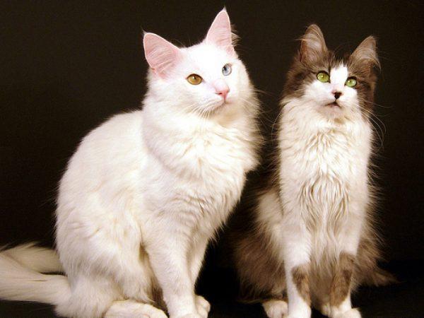 Ангорские кот и кошка
