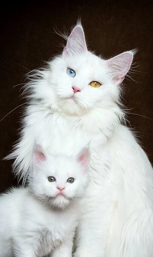 Ангора с котёнком