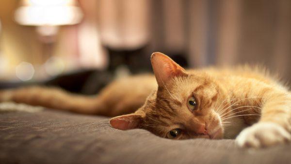 Рыжий кот на кровати